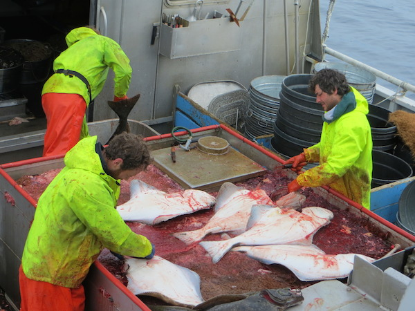 Crew of the F/V Coral Lee dress, or clean, halibut as the fish are brought aboard.